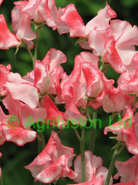 Sweet Pea Red Ripple