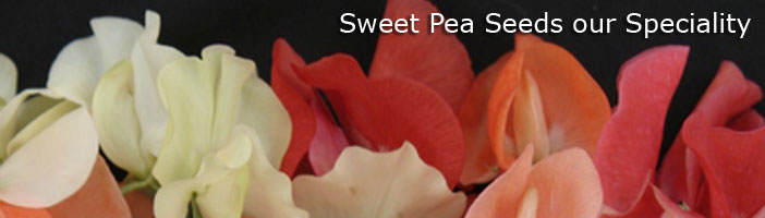 Sweet Peas Seeds our Speciality -Seedlynx Flower Seed Wholesaler